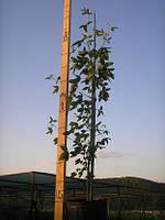 Золотой дождь альпийский, Laburnum alpinum, 200 см