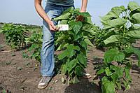 Катальпа бигнониевидная саженцы (саджанці) декоративное, красивоцветущее растение