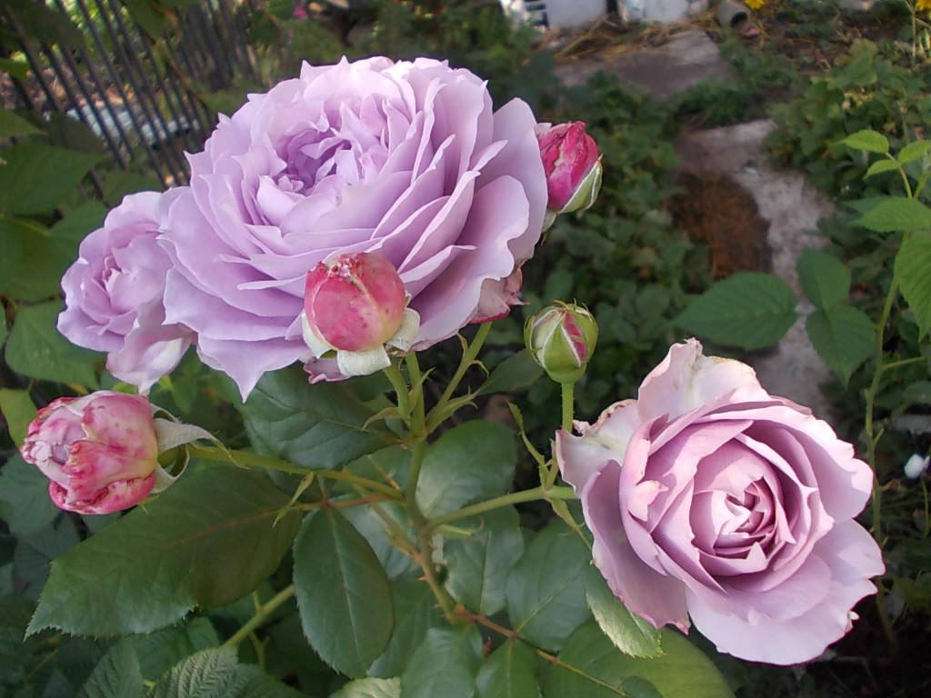 Роза Новалис (Novalis) Флорибунда