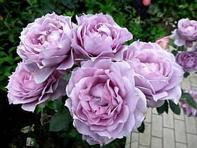 Роза Новалис (Novalis) Флорибунда, фото 3