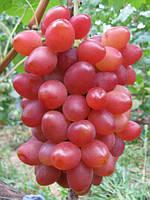 Виноград сорт София