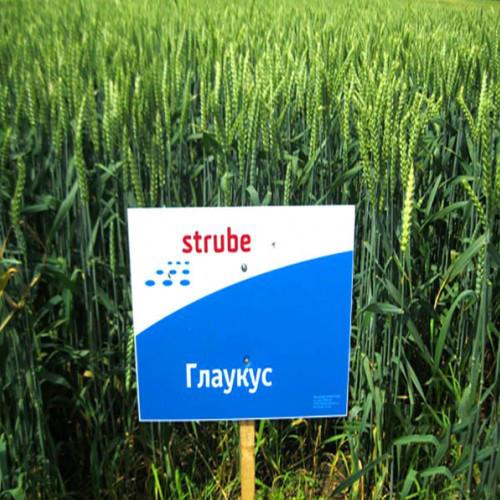 Озима Пшениця Глаукус СН-1 до 12 т/га / Семена озимой пшеници Глаукус 1 репродукция Німеччина