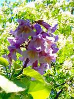 Павловния, Paulownia tomentosa, 80 см