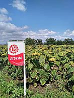 Семена подсолнечника Лимагрейн  ЛГ 59580  посевной материал