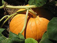 Выращивание рассады тыквенных культур