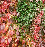 Виноград Енгельмана (Parthenocissus Engelmannii)