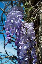 Глициния обильноцветущая, Wisteria floribunda, 90 см