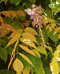 Глициния обильноцветущая, Wisteria floribunda, 90 см, фото 3
