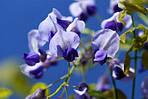 Глициния обильноцветущая, Wisteria floribunda, 90 см, фото 4
