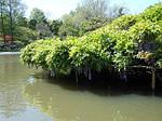 Глициния обильноцветущая, Wisteria floribunda, 90 см, фото 6