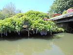 Глициния обильноцветущая, Wisteria floribunda, 90 см, фото 7