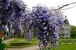 Глициния обильноцветущая, Wisteria floribunda, 90 см, фото 8