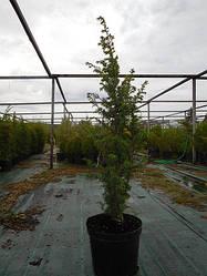 Можжевельник обыкновенный, Juniperus communis, 60 см