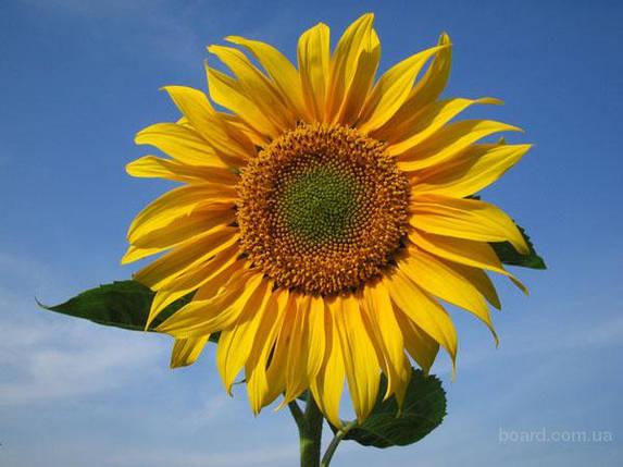 Семена подсолнечника ПРИМИ/РИМИ/РИМИ2/РИМИСОЛ/НС-Х 6343/НС-Таурус , фото 2