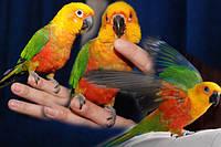 Попугай Аратинга-яндайя (Aratinga jandaya), ручные малыши.