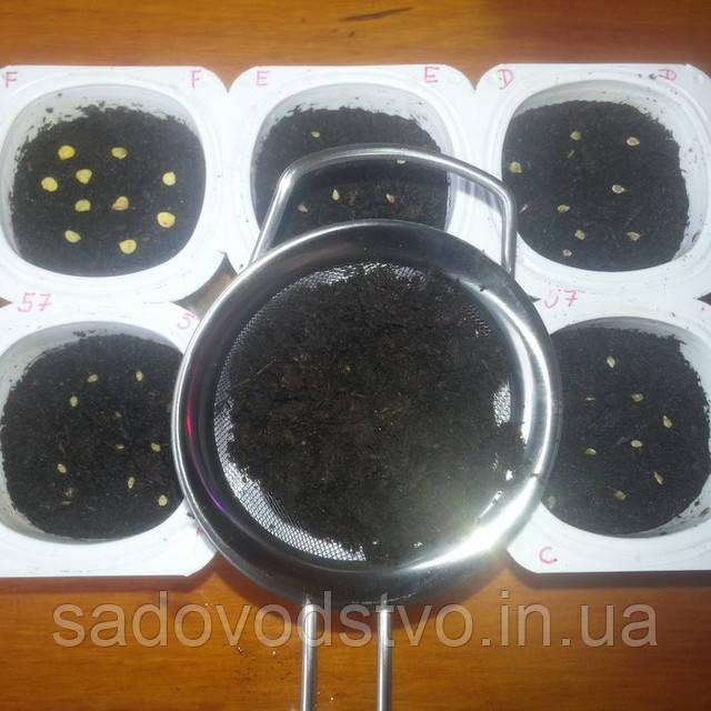 слегка присыпьте семена землей