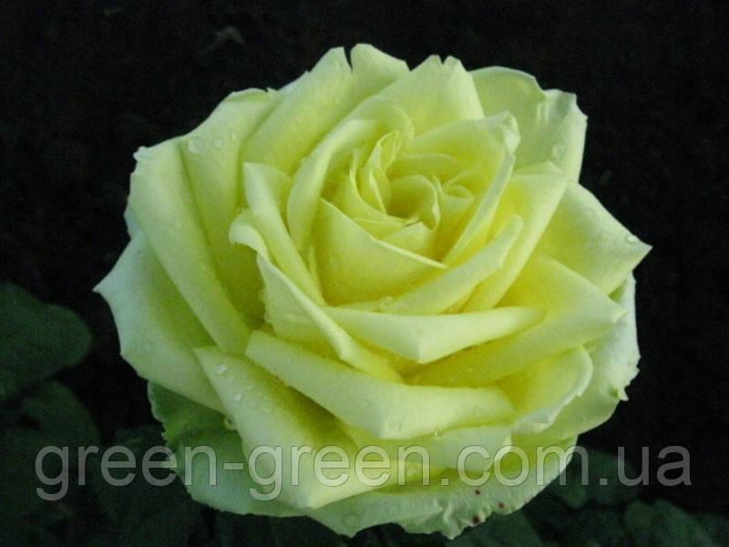 Роза чайно-гибридная Супергрин