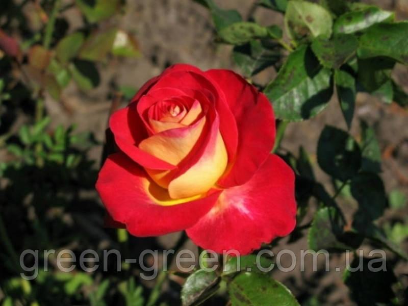 Роза Friendship (Френдшип), саженец