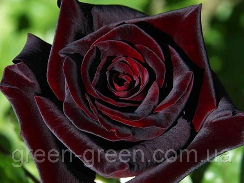 Роза чайно-гибридная Black Baccara
