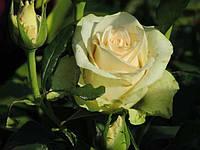 Роза чайно-гибридная La Perla
