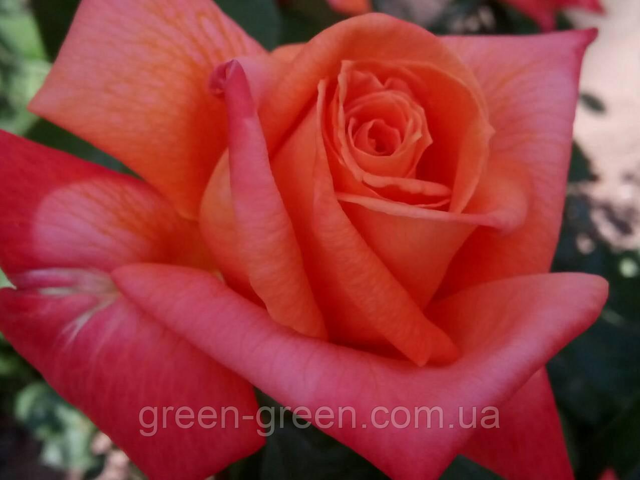Роза чайно-гибридная Verano, саженец