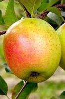 Саженцы яблони ГОЛД РАШ (двухлетние) зимнего срока созревания