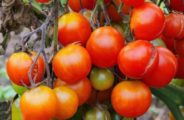предотвращение растрескивания плодов
