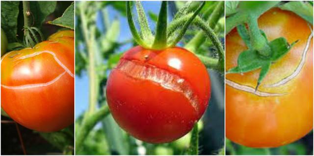 Лечение томатов