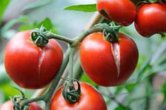 Обзор болезней томатов часть 2