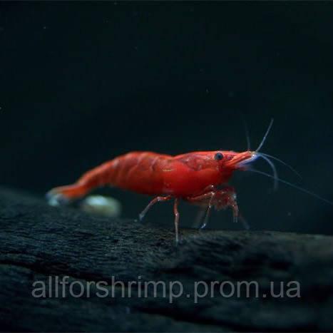 Креветка Красная Сакура (Neocaridina Red Sakura)