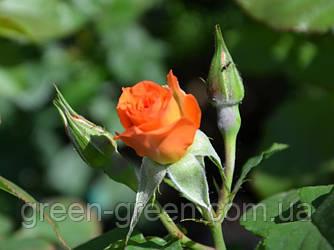 Роза спрей Alegria (Алегрия), саженец