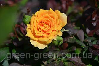 Роза спрей Clementine