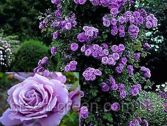 Роза плетистая Indigoletta (Индиголетта), саженец