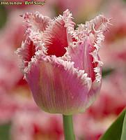Тюльпан бахромчатый Bell Song 12/+, фото 1