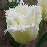 Тюльпан бахромчатый Honeymoon( Хонемон) 11/12, фото 3