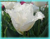 Тюльпан бахромчатый Honeymoon( Хонемон) 11/12, фото 1
