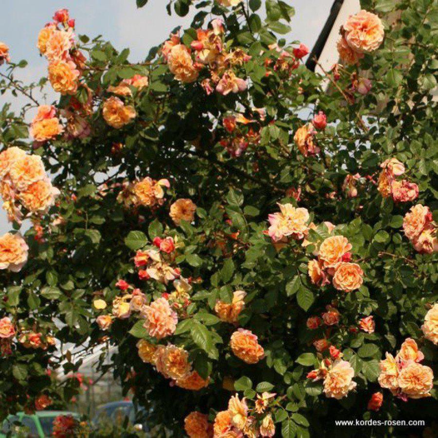 Роза Алоха Гавайи (Aloha Hawaii) Плетистая