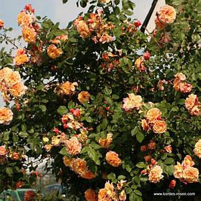 Роза Алоха Гавайи (Aloha Hawaii) Плетистая, фото 2