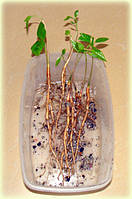 Инструкция по проращиванию семян азимины