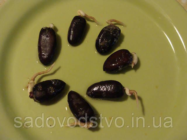 так прорастают семена азимины