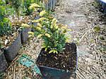 Тис ягодный, Taxus baccata 'Elegantissima', 30 см, фото 5