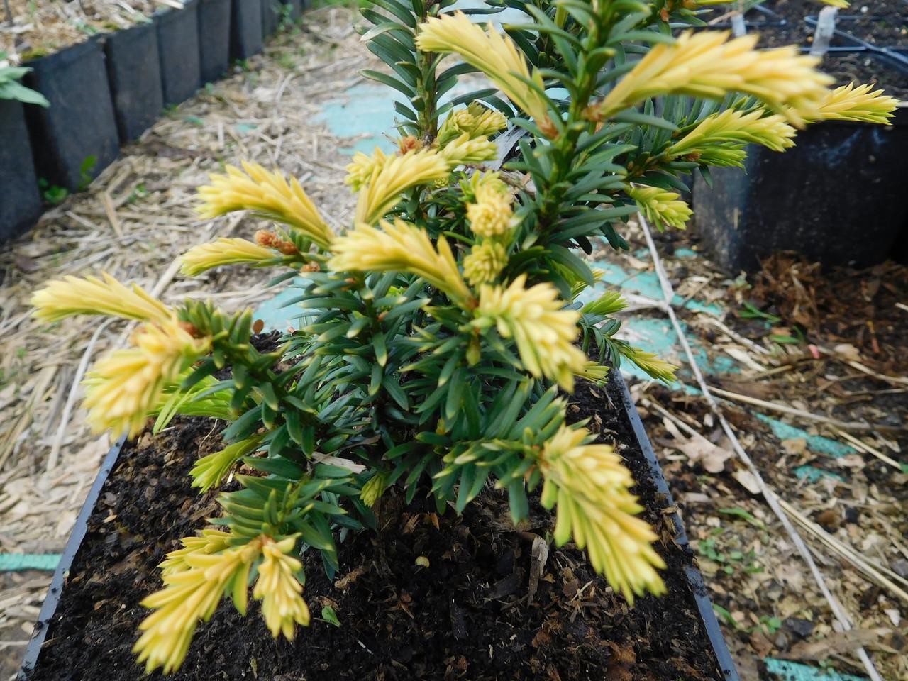 Тис ягодный, Taxus baccata 'Elegantissima', 30 см