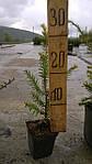 Тис ягодный, Taxus baccata 'Elegantissima', 30 см, фото 2
