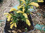 Тис ягодный, Taxus baccata 'Elegantissima', 30 см, фото 4