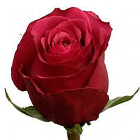 Роза Cherry O (Черри О)  поштучно, Эквадор