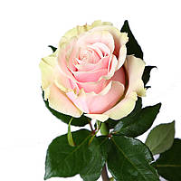 Роза Pink Mondial поштучно, Эквадор