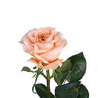 Роза Shimmer (Шиммер) поштучно, Эквадор