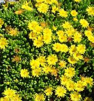 Делосперма желтая Yellow Ice Plant, Р9