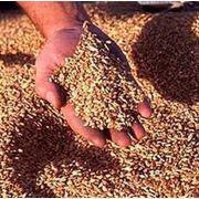 Фактори, що впливають на якість насіння