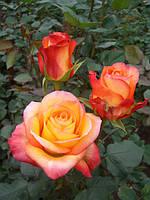 """Роза """"Энканто"""" чайно-гибридная"""